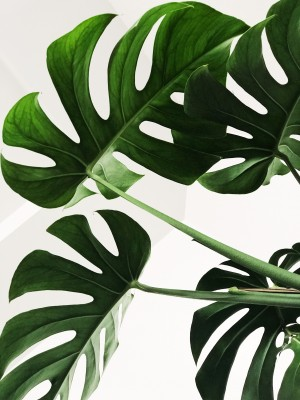 liscie-monstera